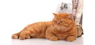 Корм для британских кастрированных котов